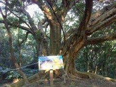 鶯歌山林5號大榕樹